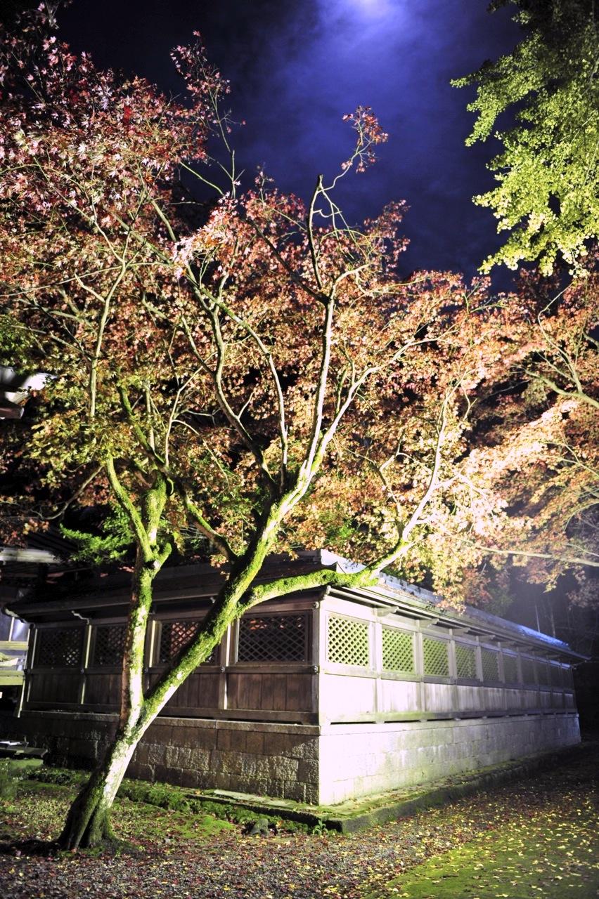 11月14日の養父神社の紅葉(夜間ライトアップ)