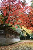 11月15日の養父神社の紅葉