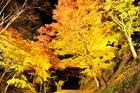 11月09日の養父神社の紅葉(夜間ライトアップ)