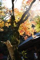 11月10日の養父神社の紅葉