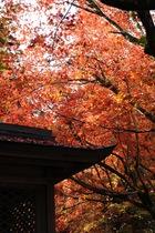 11月18日の養父神社の紅葉